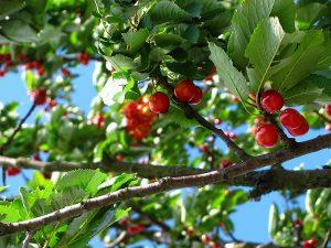 cherry tree in June