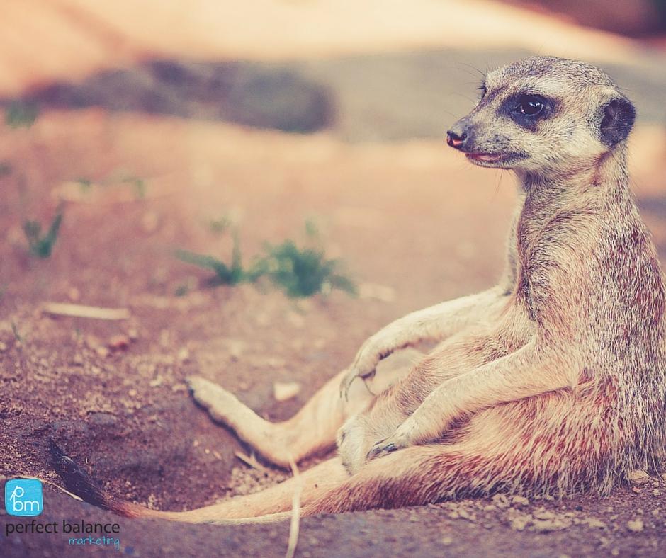 meerkat relaxing